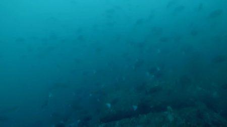 ギンガメの群れ!